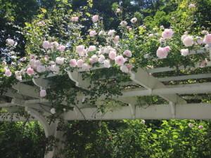 rose-on-pergola