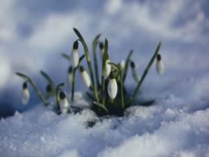 countdown to spring flowers in snow