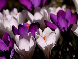 crocus-flower-spring-purple-60120