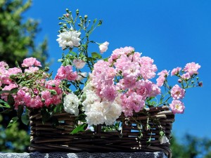 roses-1477992_1280