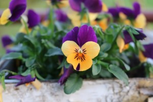 pansy-2416438_1280