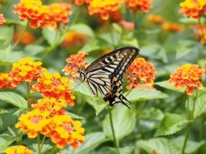 swallowtail-butterfly-802286_1280