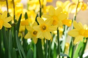 daffodils-716370_1280