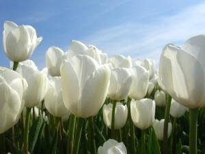 tulips-2580121_1280