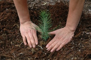 Seedling_planting