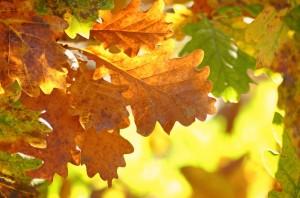 oak-leaves-1777410_1280