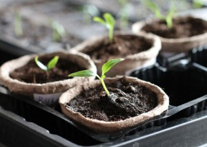 seedlings-peat-pot-SS