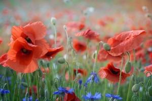 poppy-2391026_1280