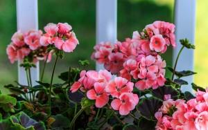 pink-geranium-2729139_1280