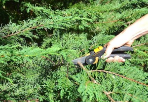 Pruning-evergreens-with-PowerGear2-Pruning-Shears