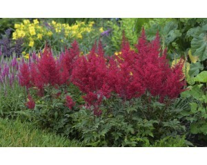 astilbe-red-sentinel-ball-hort