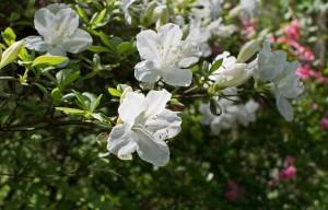 white-azalea-3336222_1280