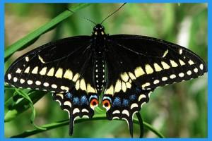 Black-Swallowtail
