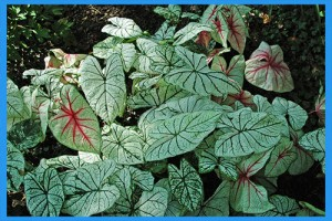 Fancy-Leafed-Caladium
