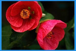 Flowering-Maple