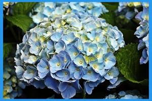 Garden-Hydrangea