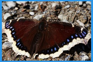 Mourning-Cloak