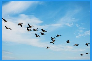 4.Watch-geese-migrate.