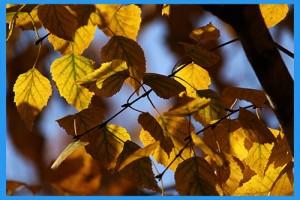 Yellow-Birch